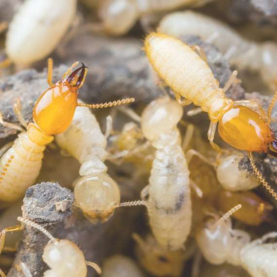 arizona pest solutions - termite treatments (2)