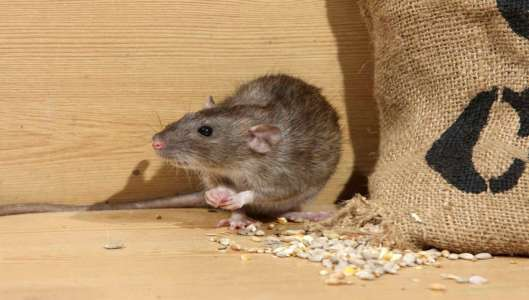 Pest-Control-Tips-7-Rodent-Removal-Prevention-Strategies-That-Can-Bring-You-Peace
